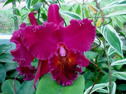 orquidea-espetacular-foto-ladyce-west