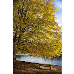 A Tree with Golden Leaves & A Park Bench On The Edge of The Water In Autumn - North Yorkshire England Poster Print 24 x 38 - Large BR482299