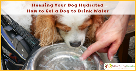 Keeping Your Dog Hydrated and Preventing Dog Dehydration | How to Get a Dog to Drink Water ~ Raising Your Pets Naturally with Tonya Wilhelm