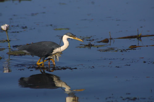Pied Heron, Yellow Waters