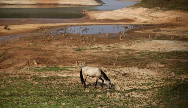 A horse grazes next to the cracked ground of the Atibainha dam as it dries up due to a prolonged drought in Nazare Paulista, Sao Paulo state, October 17, 2014.  REUTERS-Nacho Doce