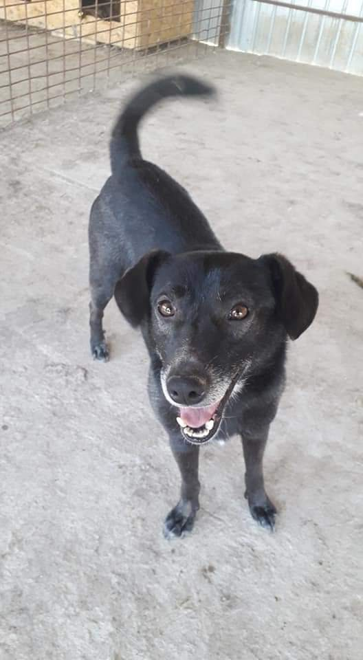 Percy – 3 year old male Labrador
