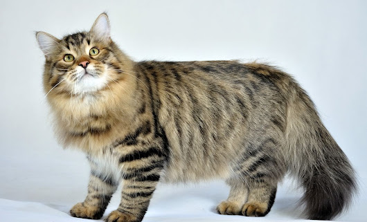 Siberian Cat: Size, Weight, Allergy, Personality and Temperament, Colors, Lifespan - Privet, Russia! Travel Blog about culture, music, places to visit in this wonderful country