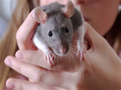 Pet Care Guide: Rats