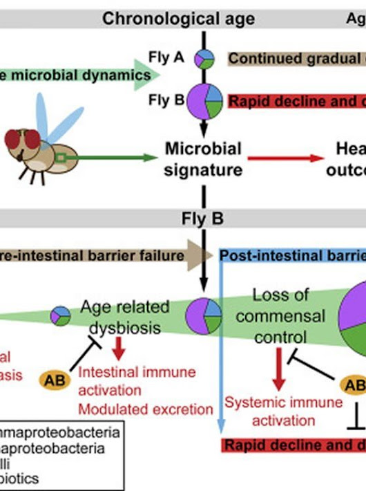Delaying Age Related Diseases by Keeping Gut Bacteria in Balance