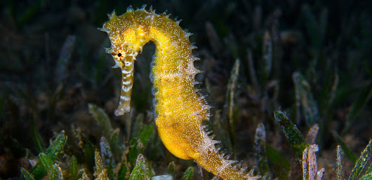 From Seahorses to Sticklebacks: The Ocean's Top Dads