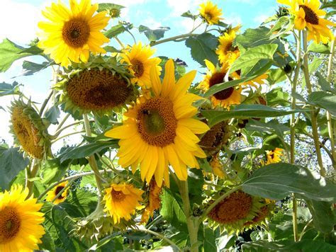 How Do Sunflowers Reproduce?   ProFlowers Blog