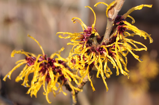 Witch Hazel – Old Folklore Revisited
