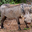 Attacked by wild pig, rescued by 'man with nail-scarred hands'