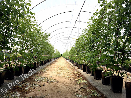 Raspberry polytunnels and raspberry growing system in Poland