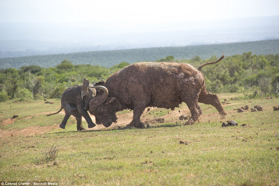 Crunch: The bull wasn't intimidated at all and casually waited until the young elephant was within striking range before using his massive head to shove him away