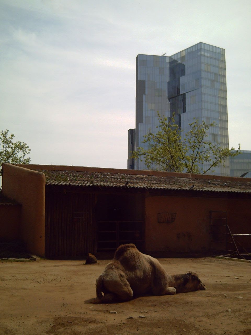 Barcelona Zoo: Dromedary Complains About the Heat