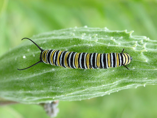 Monarch Butterfly larvae at Tommy Thompson Park