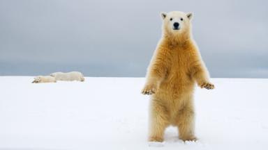 Um filhote de urso polar (Crédito: Steven Kazlowski / naturepl.com)