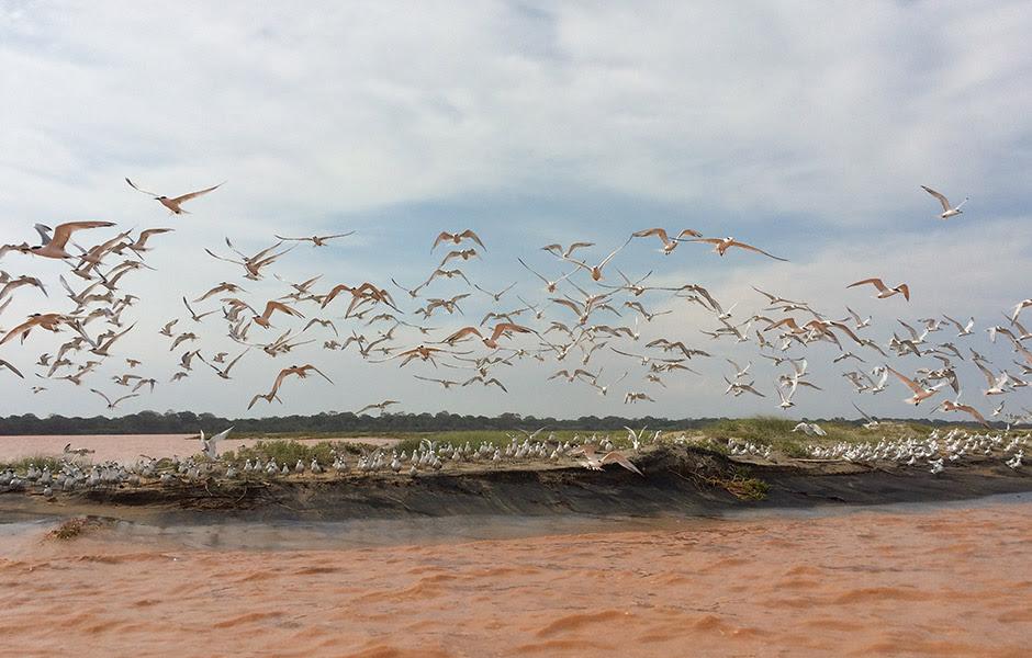 Andorinhas-do-mar na foz do Rio Doce