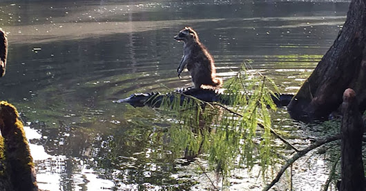 Florida man snaps photo of a raccoon chilling on an alligator