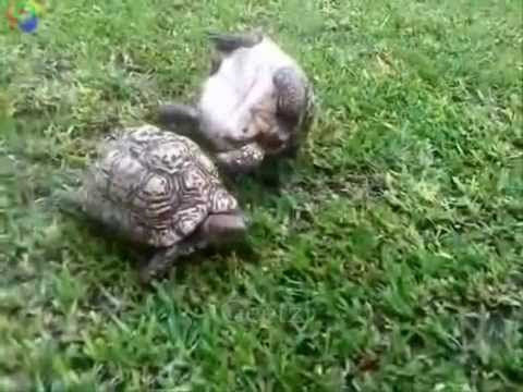 Tortoise helps friend who's flipped over
