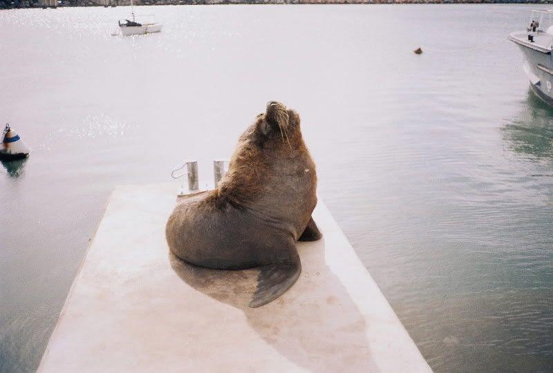 Sea wolf posing in Piriapolis harbor