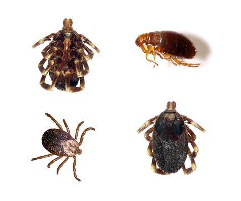 Flea & Ticks: Pet Pests or Disease Vectors? ? Dr. LeeAnn DuMars, ABVP   Pet Medical Center Fresno