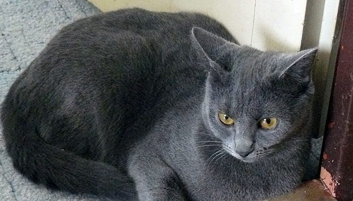 Kot Kartuski Niebieski