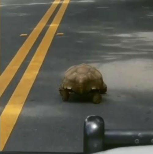 Una sinvergüenza tortuga protagoniza la persecución policíaca más lenta de todos los tiempos