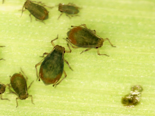 Bird cherry oat aphids in wheat: showing up in large numbers