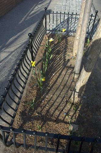 Cortelyou Daffodils
