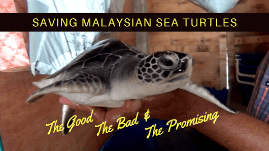 Saving Malaysian Sea Turtles through Conservation and Voluntourism