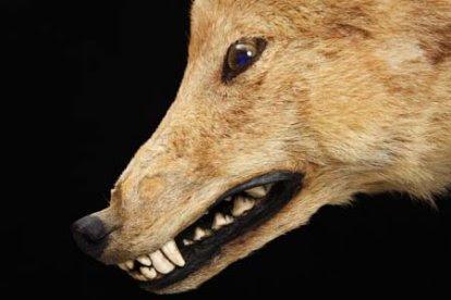 Honshu Wolf