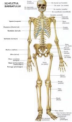 Scheletul uman by Pop Paul