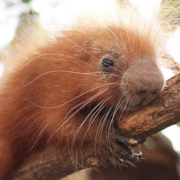 Clover, like all porcupines, was born without sharp quills. The soft quills will harden gradually and will be fully formed when the porcupine is 10 weeks old.