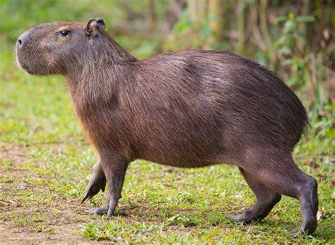 capybara   Description, Behavior, & Facts   Britannica.com