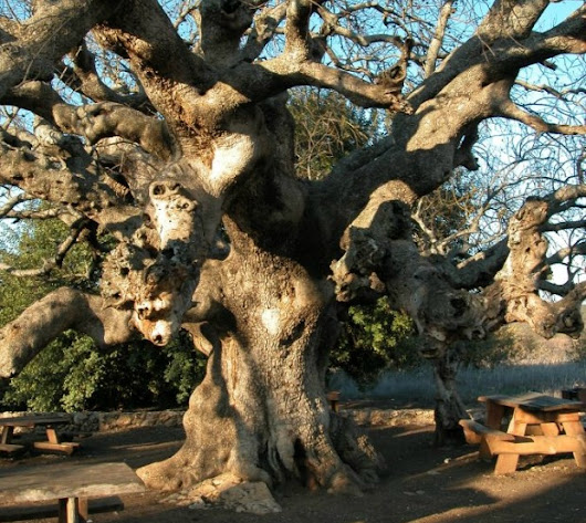 The top 10 most amazing trees in Israel
