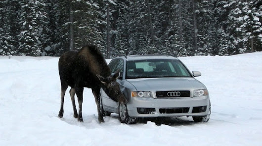 Only in Canada: Moose warning for Kananaskis Country