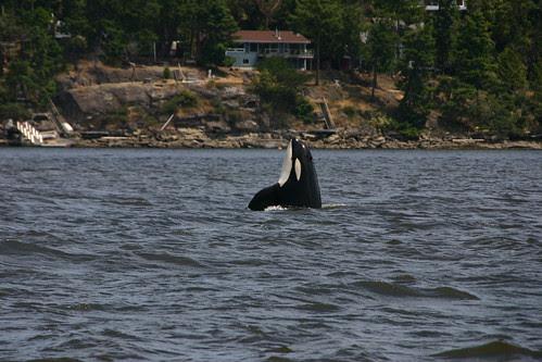 Orca, near Mayne Island