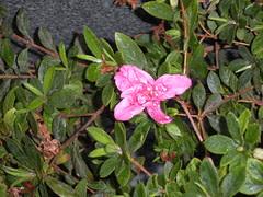 Azalea bloom (I think)
