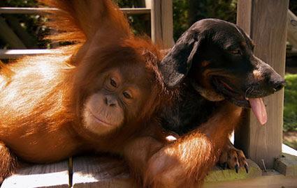 orangutandog