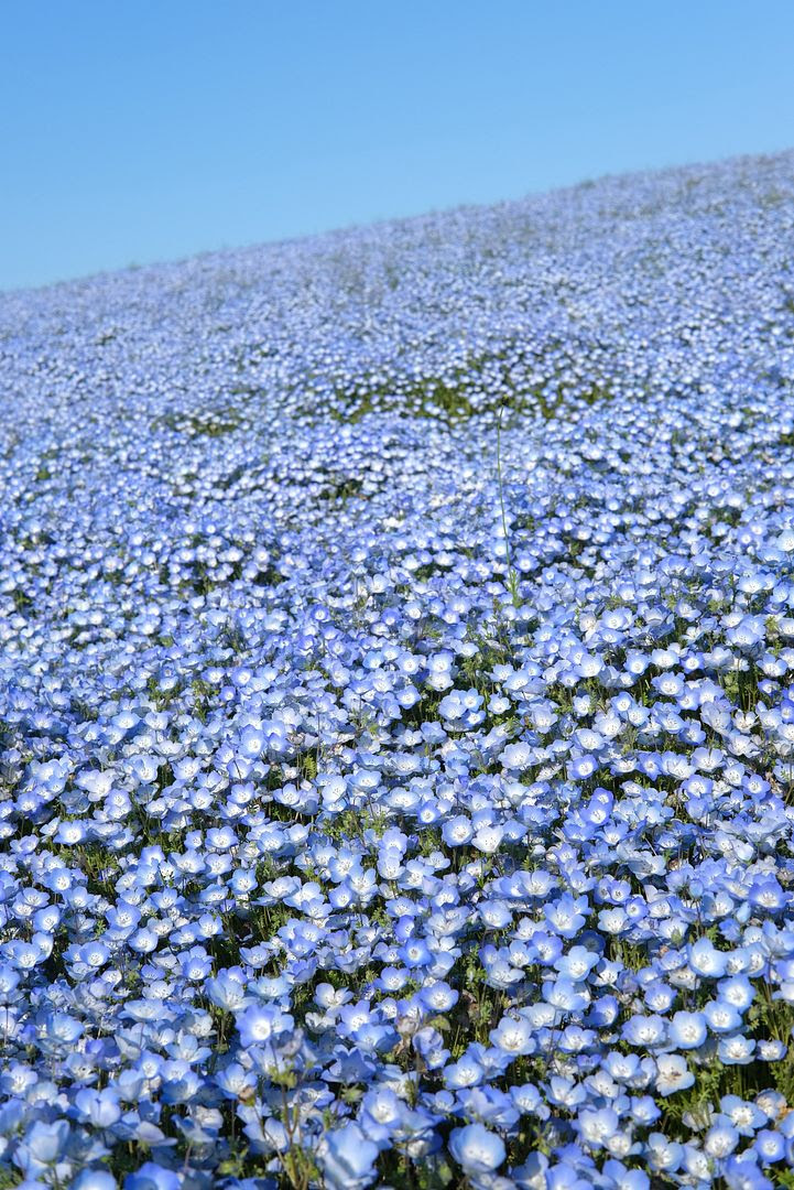 photo Hitachi Seaside Park Ibaraki Japan 3.jpg