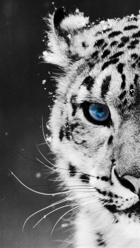 tiger wallpaper  iphone phone wallpaper pinterest