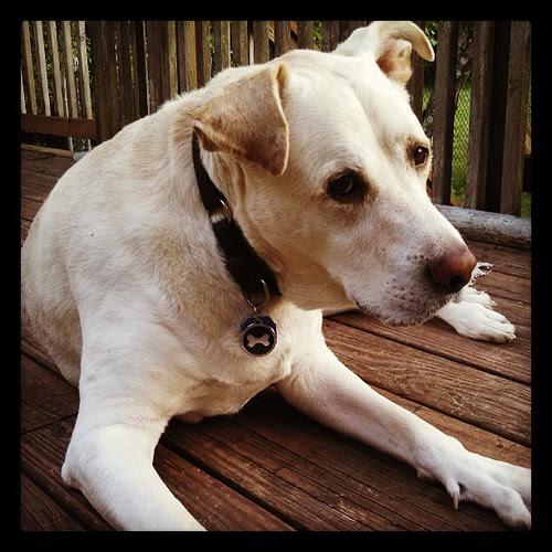 Zeus #bigdog #love #dogstagram #labmix #deck
