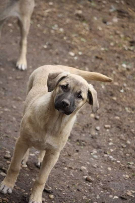 Sapphire – 5 month old female Cross-Breed