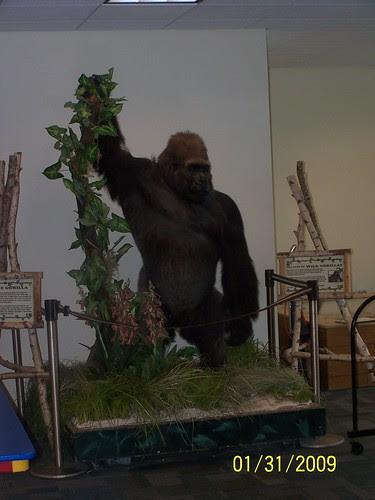 Phil the Gorilla