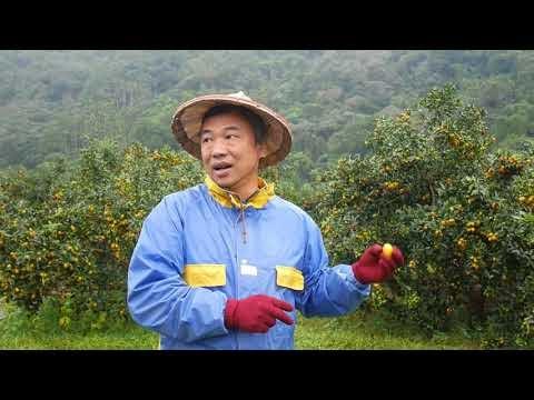 【金棗 種植】許錫淇  淇珍御果友善農場