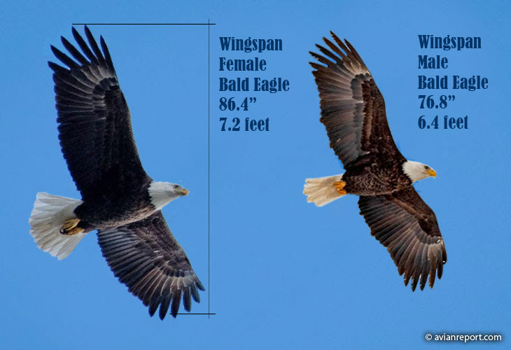 How Much Weight Can A Bald Eagle Carry