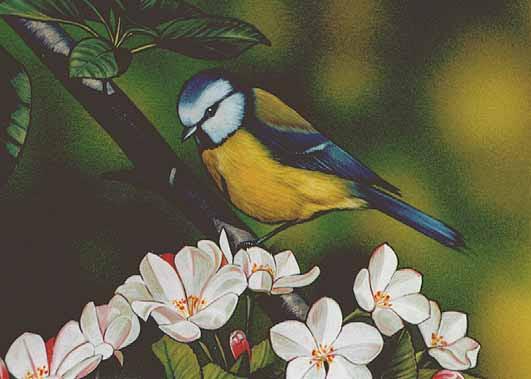 blaumeise vogel ausmalbild blaumeise