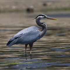 great-blue-heron_3