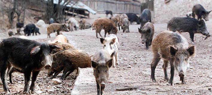 Ανησυχία στη Θεσπρωτία: Τα αγριογούρουνα έγιναν περισσότερα από τις κότες στα χωριά των Φιλιατών (+ΒΙΝΤΕΟ)