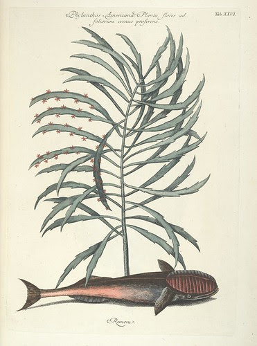 Phylanthos Americana Planta flores ad foliorum crenas proferens AND Remora
