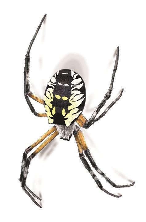 Garden Spider Facts & Control: Get Rid of Garden Spiders