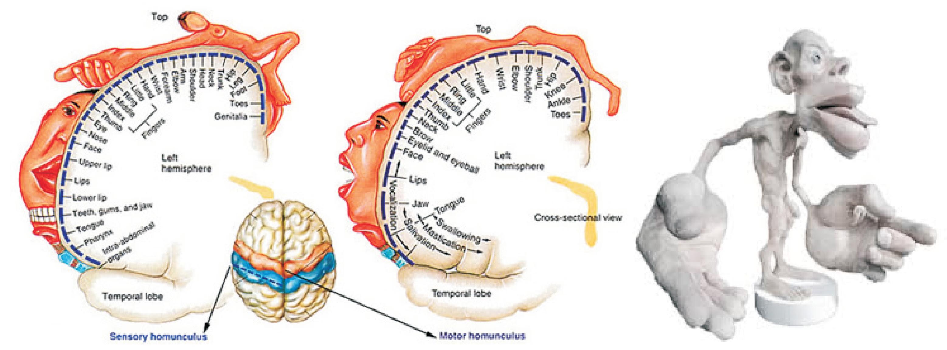 The Cortical Homunculus - Reshaping the Brain through ...
